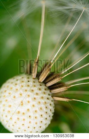 Big Fluffy Dandelion Remove The Macro Spring