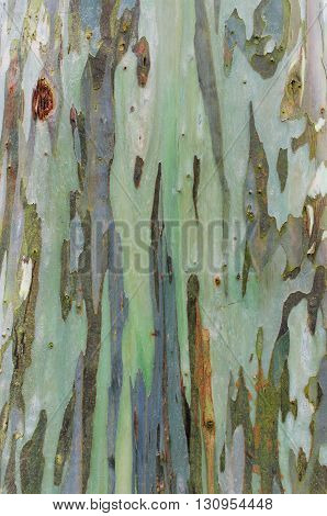 the colorful bark texture of eucalyptus tree