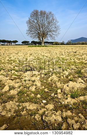 Isolated plane tree in a plowed field - (Tuscany countryside - Italy)