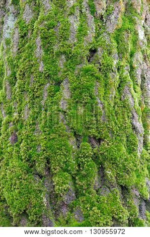 the fresh green moss on tree bark
