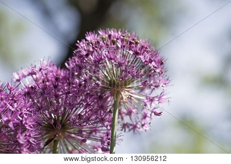 Allium (Allium Giganteum) in full flower growing in the garden