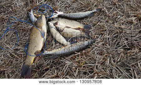 Freshly caught fish carp perch. Catch fisherman. Fisherman caught fish.Fish in grass.