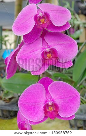 purple and yellow phalaenopsis in orchids garden