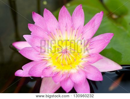Lotus Blossom with Lily Pad