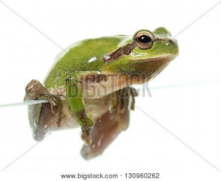 European tree frog in front of white background