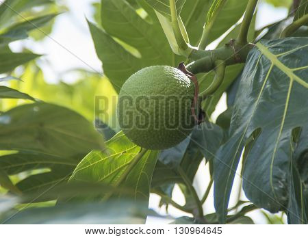 Breadfruit hangs on a tree in Falmouth Jamacia in the Carribean