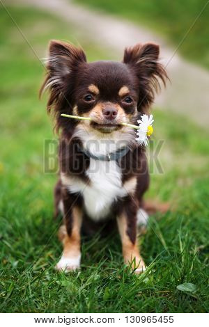 brown chihuahua dog holding a flower outdoors