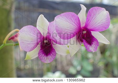white and purple phalaenopsis in orchids garden