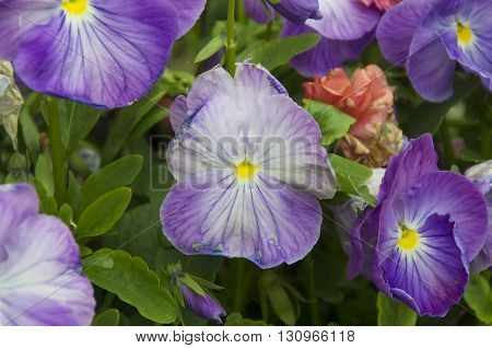 A Pot of Purple Pansies along a street in Lewes Delaware