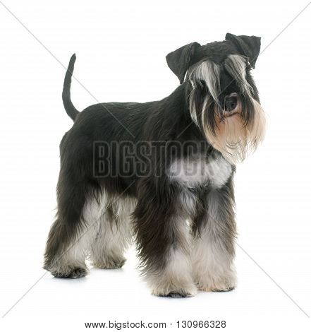 black and white miniature schnauzer in studio