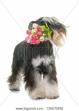 black and white miniature schnauzer and flower in studio