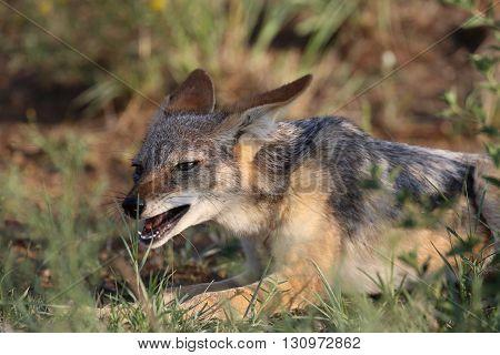Black backed jackal eating prey in south africa