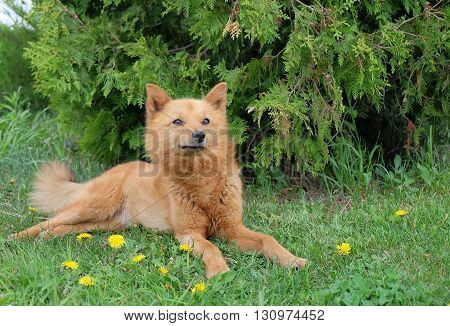 Small red dog in the green grass