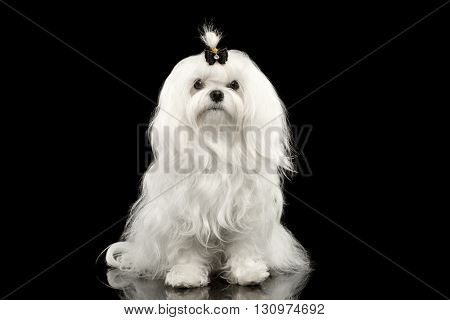 Portrait of Serious White Maltese Dog Sitting with tie Looking in Camera isolated on Black background