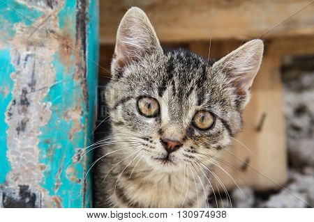Close up head front shot of a brown eyed tabby kitten on brown and turquoise background