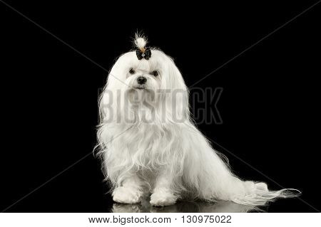 Portrait of Serious White Maltese Dog Sitting Looking in Camera isolated on Black background