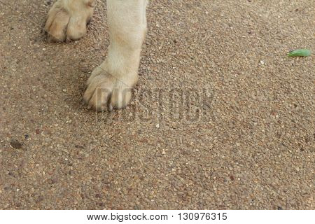 Labrador brown dog foot on the ground