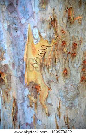 Single scribble on colorful new bark on an Australian scribbly gum tree