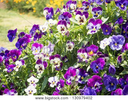 Pansy Viola tricolor flower bed in the garden
