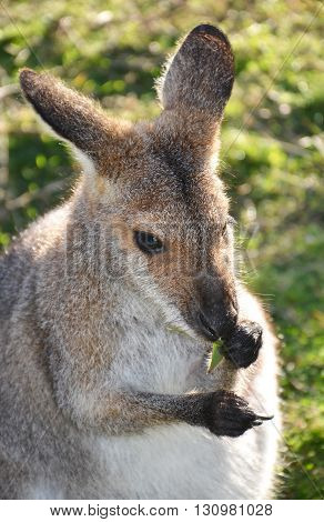 Little kangaroo (Wallaby) holding and eating gum leaves