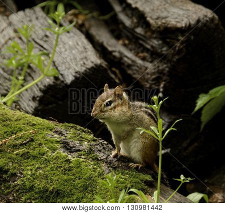 An Eastern Chipmunk, (Tamias striatus) a member of the squirrel family, sitting on a rock.
