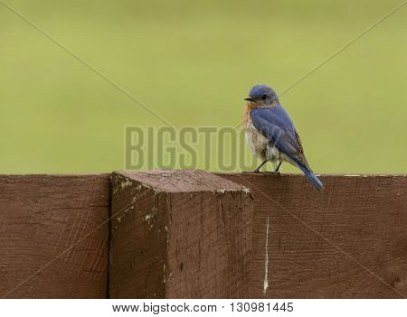 A male Eastern Bluebird perched on a fence rail in York County Pennsylvania, USA in the spring.