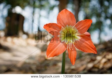 Hippeastrum or Amaryllis flower vibrant color in garden with blur background