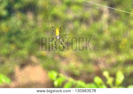 View of a Golden Silk Spider on a web, Florida
