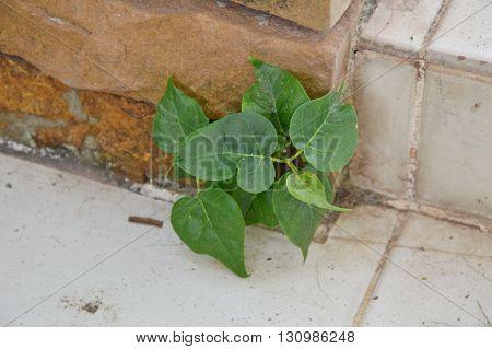 Bod-hi tree growth in home brick pole