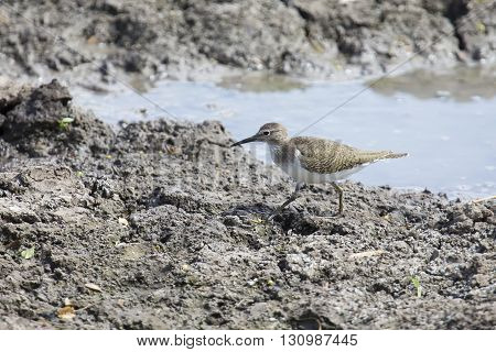 Common Sandpiper walking on the muddy bank of a lake to search for insects