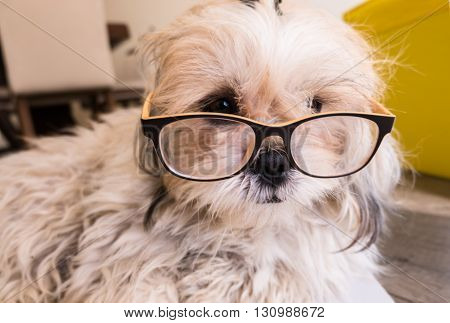 A cute white Dog is wearing glasses