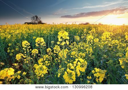 yellow rapeseed flower field at spring sundown
