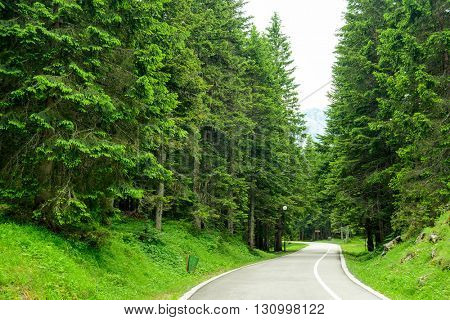 Free Road among Beautiful Fir Forest in the National Park Durmitor, Montenegro