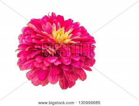 flower, pink zinnia isolated on white background