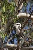 stock photo of kookaburra  - Laughing Kookaburra  - JPG