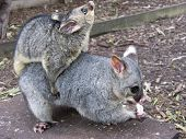 picture of possum  - mum carrying her baby possum on her back - JPG
