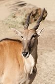 stock photo of eland  - clsoup of the largest African antelope a Common Eland  - JPG