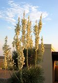picture of xeriscape  - closer view of yucca blooms at twilight - JPG