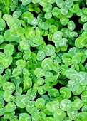 image of st patty  - field of green clover for a background for st - JPG
