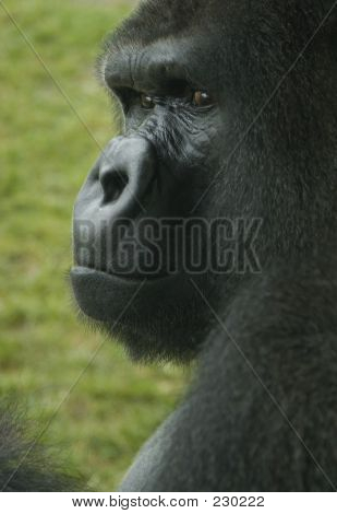 Animal Gorilla Stare