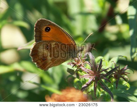 gatekeeper butterfly on the flower