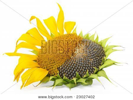 Ripe Sunflower
