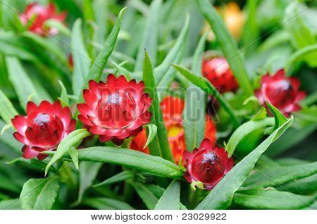 Red Helichrysum  Bracteatum