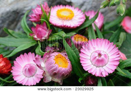 Pink Helichrysum  Bracteatum