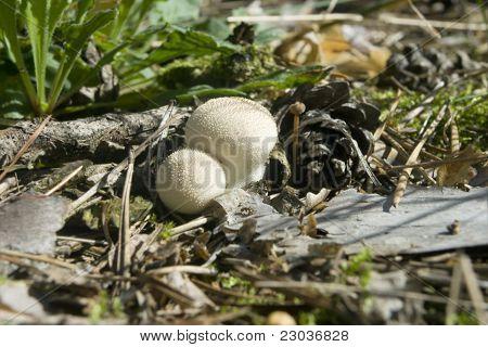 Mushroom  Lycoperdon Perlatum