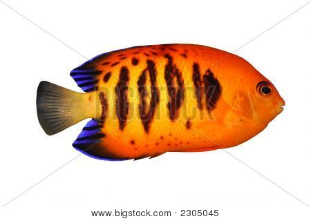 Tropical Fish Centropyge Loriculus Isolated On White