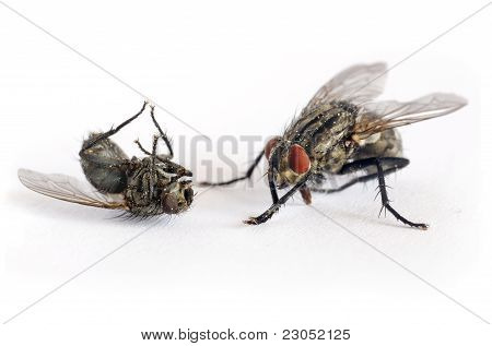 criminal fly kill another fly