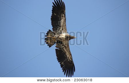 Immature Bald Eagle Flying Low
