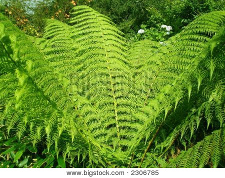 Green Giant Fern