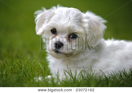 puppy dog havanese